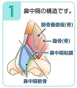鼻中隔の構造